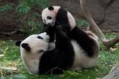 YOUNG PANDAS