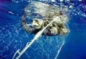 Sea Turtle caught on net
