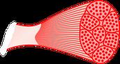 Spierweefsel