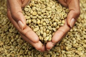 Indagini di estratto di caffè verde