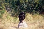 chimpanzees are like humans