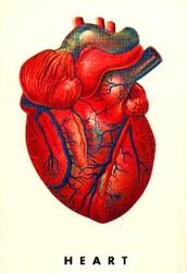The Heart: