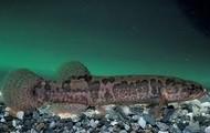 Alaskan Blackfish