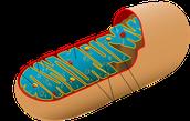 Cellular Respiration (Aerobic)