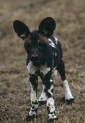 The African Wild Dog looks like...
