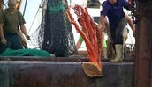 Coral Caught by Bottom Trawl