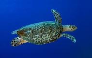 Hawk Billed Sea turtle
