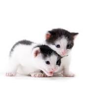 OreaCake And OreaMix Are Kawaii Kittens for sell