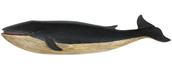 Modern Whale