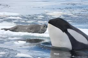 leopard seal and killer whale