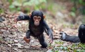 Description for Chimpanzees