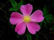 Wild Pairie Rose