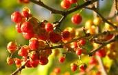 Oriental Bittersweet (Plant)