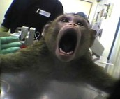 What types of experiments are conducted using primates?
