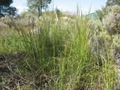 Spear Grass