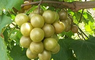 What's a Scuppernong?