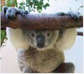 """In April 2012 , the Australia Government declared the koala as """"Vulnerable"""" across the entire state."""