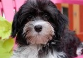Your day to learn more thing about Havanese is coming