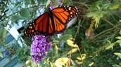 Adult monarch - October