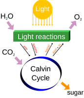 Diagram for photosynthesis
