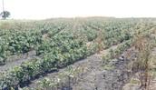 common vegetation