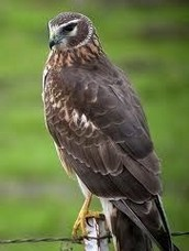 The Northern Harrier