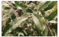 Diamond leaf willow