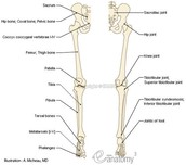Pelvis and Leg Bone