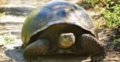 Giant tortouses