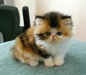Karma Are Kawaii kitten for sell