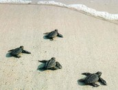 Watch Baby Turtles Hatch and Swim into the Ocean