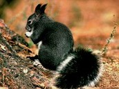 Tassel-eared Squirrels
