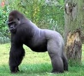 Silver back gorillas are called silver backs becase of the gray furr on there back.