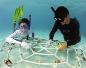 Replanting Coral