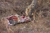 Coyote eating a deer