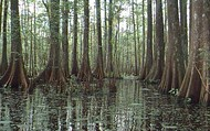 Freshwater Swamps