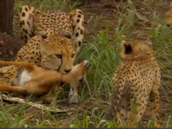 A female cheetah giving food to it's young