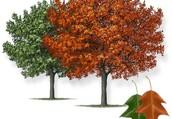 Texas Red Oak