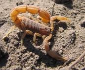 Buthidae in natural Habitat