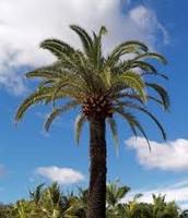 Palmae (Palm Trees)