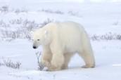 Hunting Female Polar Bear