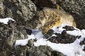 A Snow Leopard Stalking Its Prey