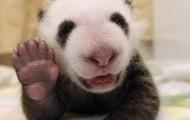 'Paul the Panda'