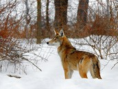 A Red Wolf Standing in the Snow