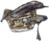 A Dead Bird Because Of The Plastic It Consumed