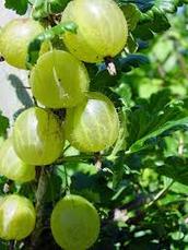 Classification Of Gooseberries