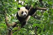 What habitat do Giant Pandas live  in?