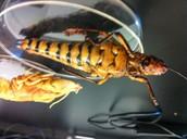 Grasshopper ventral