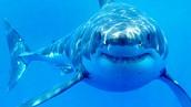 Shark- Great White
