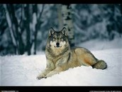 wolves love the snow they spend 80% of there time playing and hunting in it
